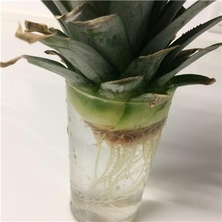 パイナップルを水耕栽培