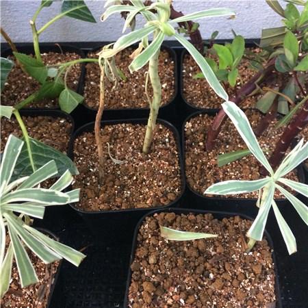 ユーフォルビア:シルバースワンの挿し木
