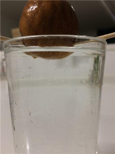 アボカドの種を水耕栽培