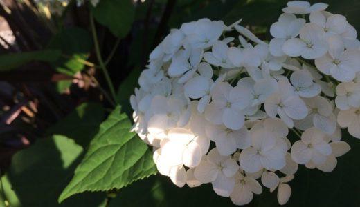 紫陽花(アジサイ)の挿し木の簡単な方法