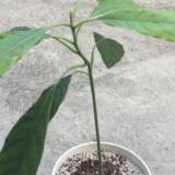 アボカドの種、水耕栽培での育て方