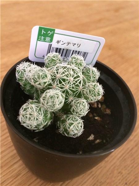 銀手毬(ギンテマリ)