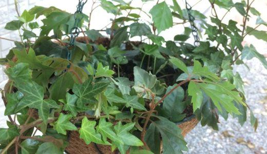 ダイソーの吊りカゴにアイビーやエレンダニカを寄せ植え