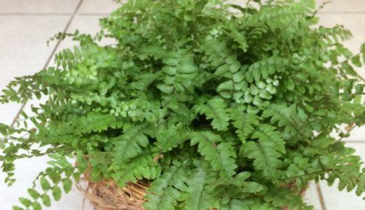 シダ植物:ボストンファーンの育て方