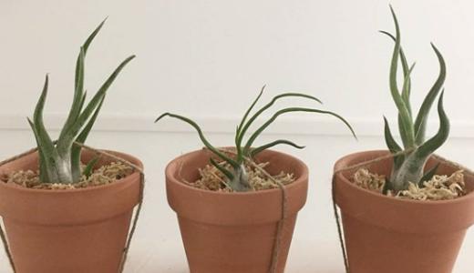 ダイソー植物:一覧で紹介 ~レアなものから普及種まで~