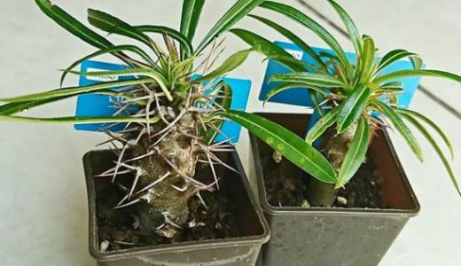 ダイソー植物:パキポディウム・ラメリーの育て方
