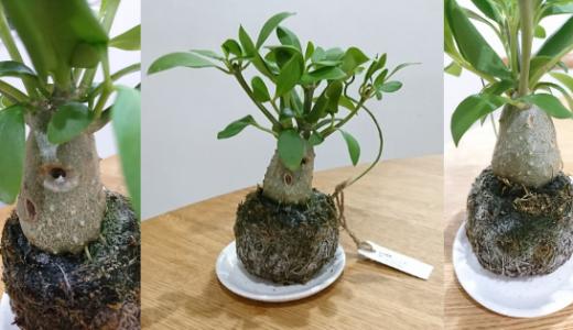 アリ植物:ミルコメディア・ベッカリーの苔玉の育て方