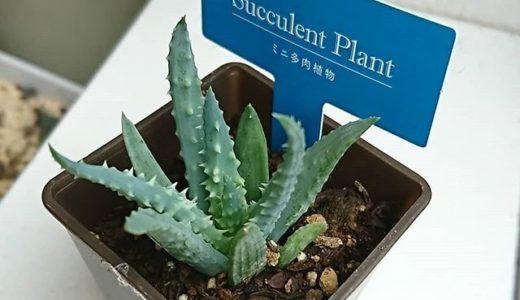 ダイソー植物:アロエのような植物、帝王錦(フミリス)